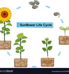 diagram showing life cycle of sunflower royalty free vector diagram of a flower pdf for free [ 1000 x 978 Pixel ]