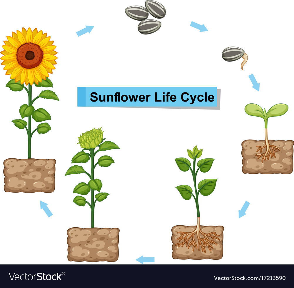 hight resolution of diagram showing life cycle of sunflower royalty free vector diagram of a flower pdf for free