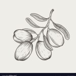 Argan Tree Branch Isolated Royalty Free Vector Image
