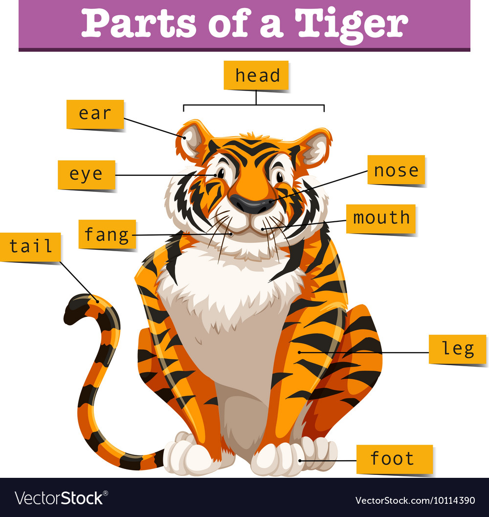 hight resolution of diagram showing parts of tiger vector image