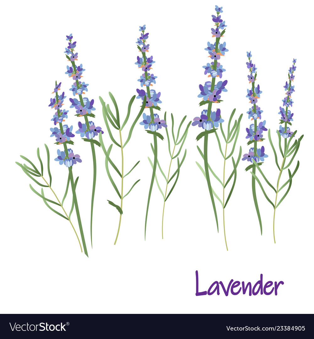 lavender flowers drawing medicinal