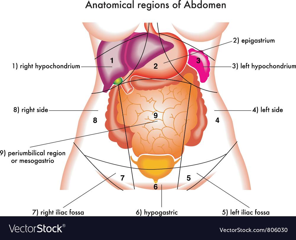 hight resolution of abdomen vector image