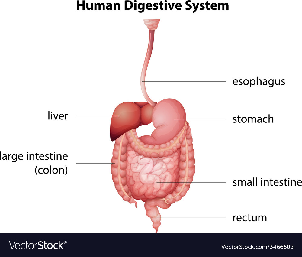 hight resolution of human digestive system vector image