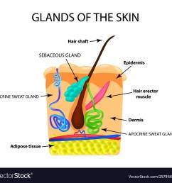 diagram of sweat gland foot [ 1000 x 960 Pixel ]