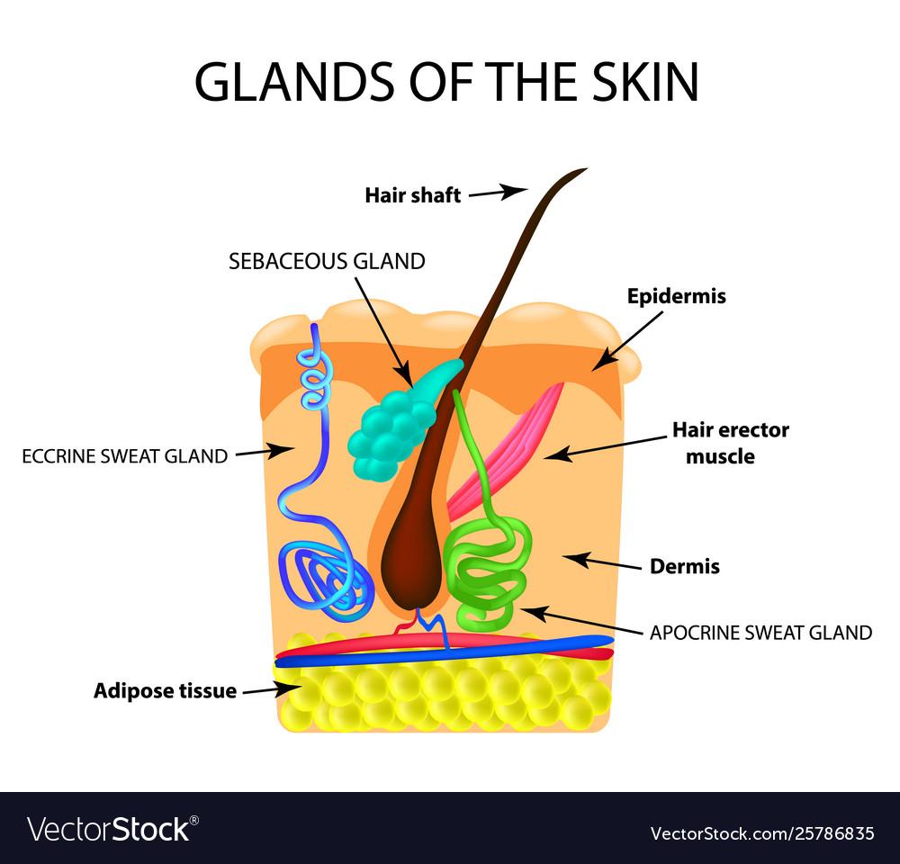 medium resolution of diagram of sweat gland foot
