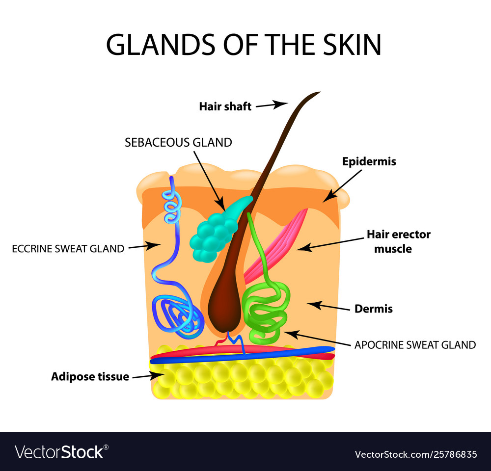 hight resolution of diagram of sweat gland foot