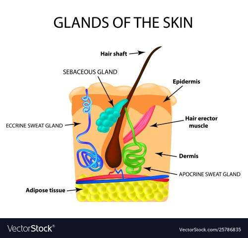 small resolution of diagram of sweat gland foot