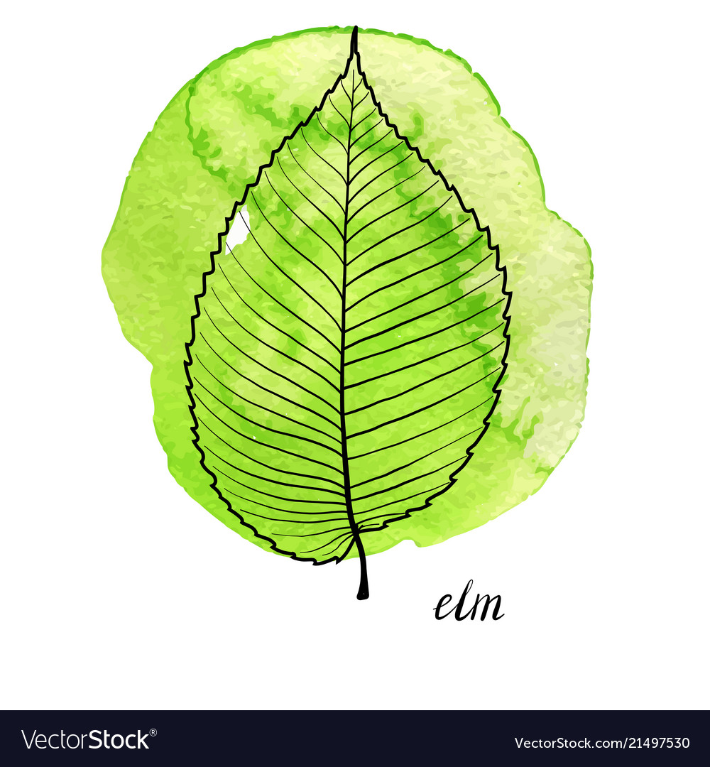 hight resolution of leaf of elm tree royalty free vector image vectorstock elm tree diagram