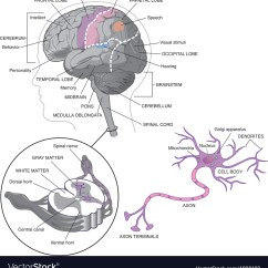 Detailed Neuron Diagram Din Automotive Wiring Symbols Brain Detail With Neurons Royalty Free Vector Image