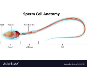 Sperm cell structure Royalty Free Vector Image