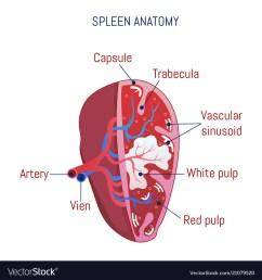 spleen diagram project data diagram schematic spleen diagram project [ 1000 x 1080 Pixel ]