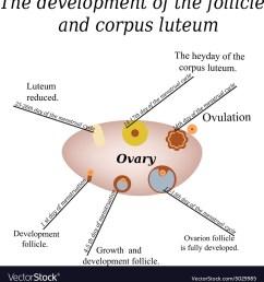 a diagram of ovarian follicle [ 974 x 1080 Pixel ]