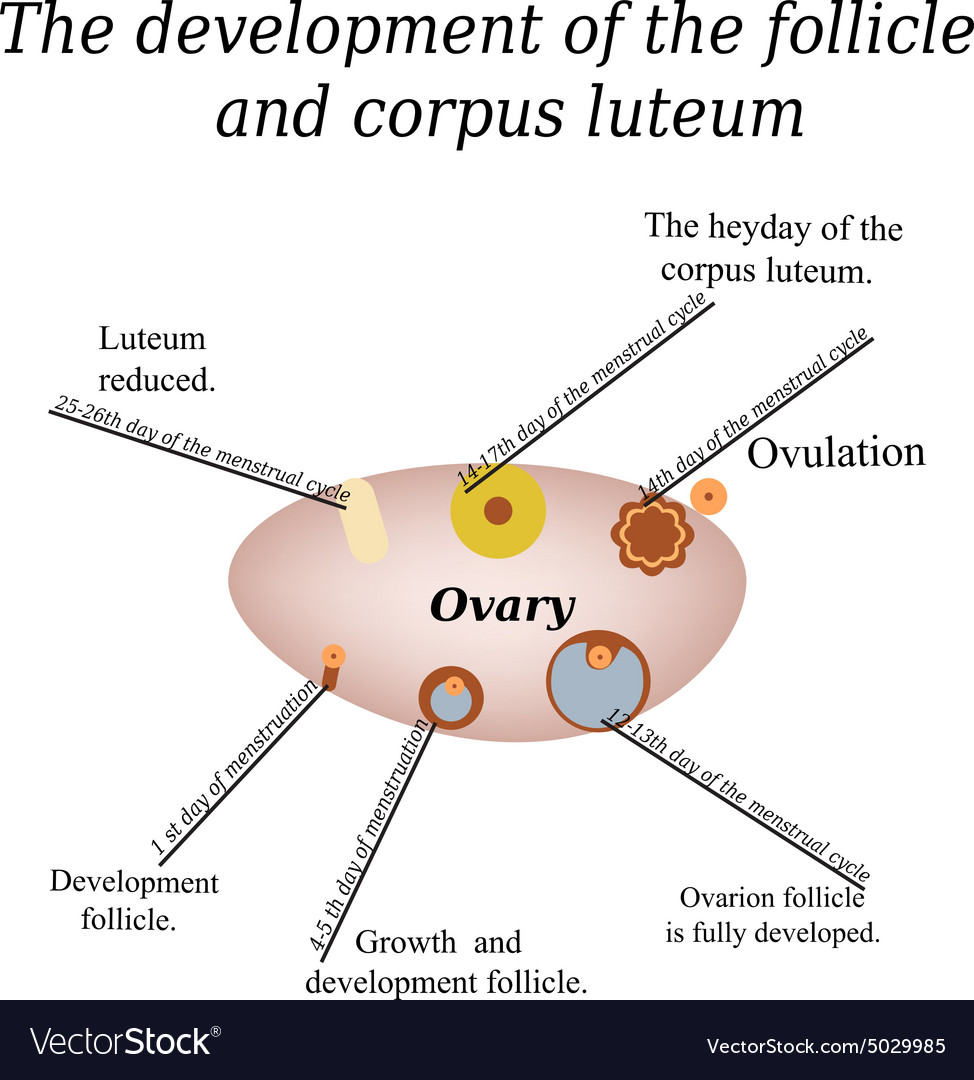 hight resolution of a diagram of ovarian follicle