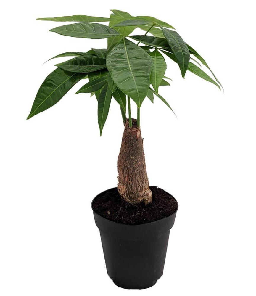 good fortune tree pachira