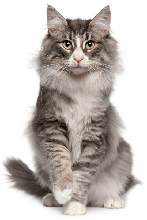 norwegian forest cats large