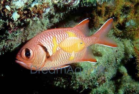 big eye squirrelfish myripristis