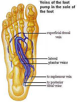 veins in the foot diagram led strip lights wiring learn help for patients what is a pump and why use it venous plexus jpg