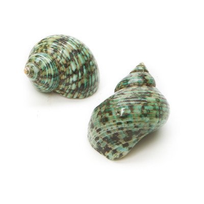 green turbo seashell
