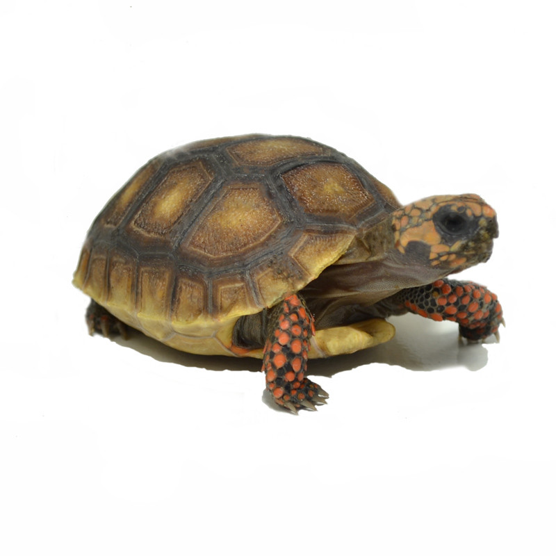 baby red foot tortoise