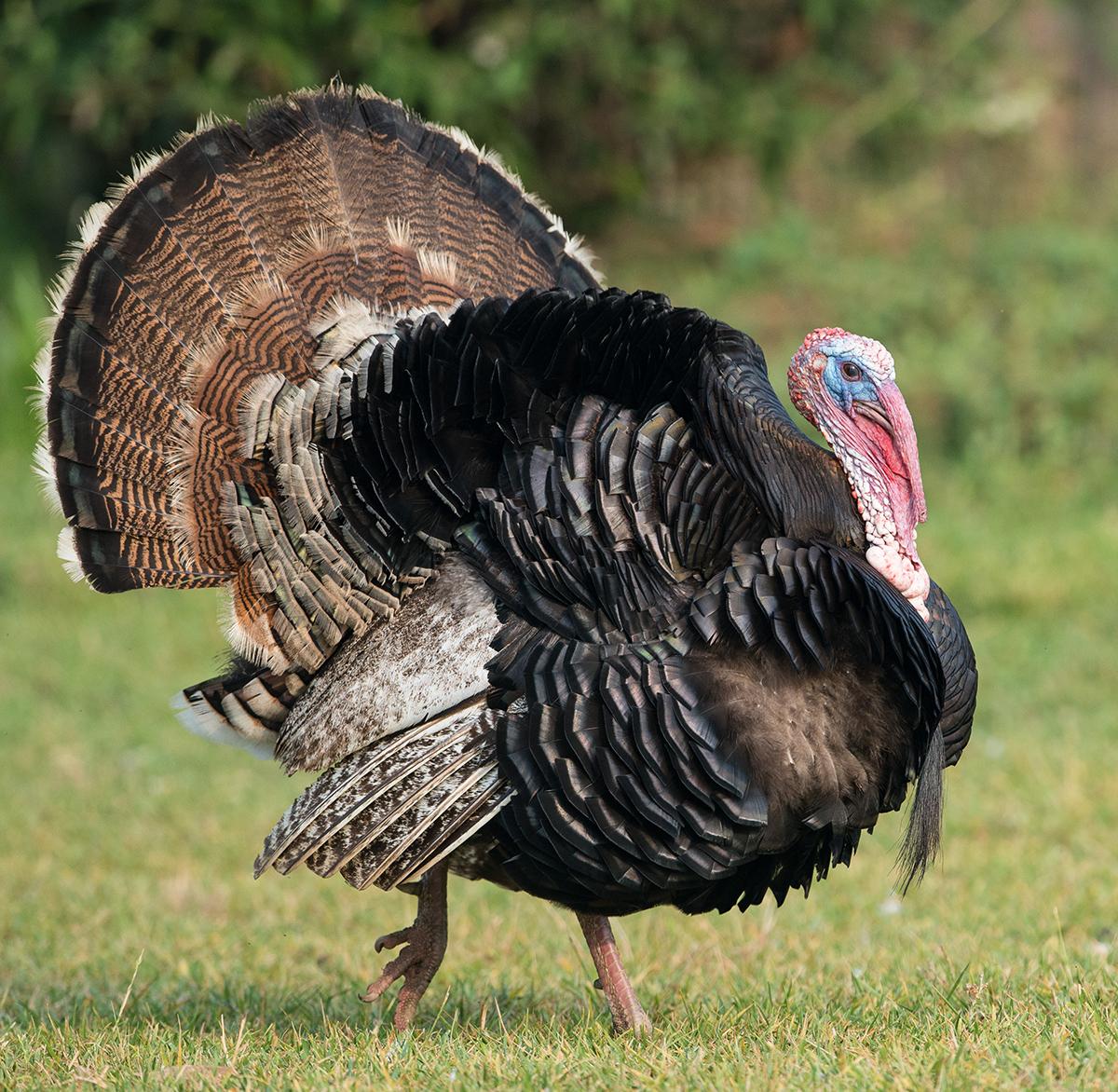 why are wild turkeys