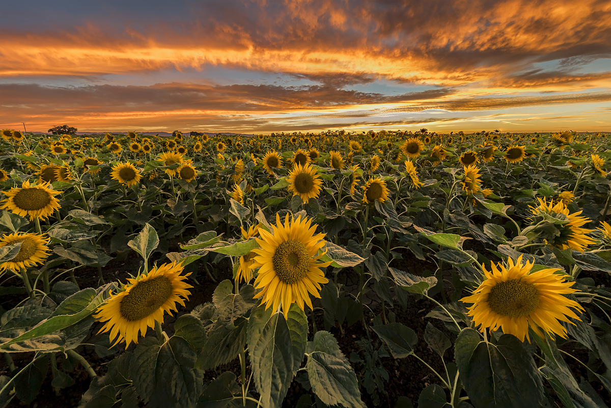 Fall Wallpapers For Desktop Idaho Five Sunflower Fields To Visit In New England