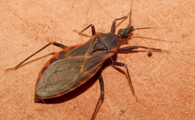 Kissing Bug How Worried Should Philly Be About The Face
