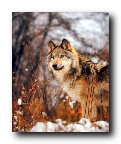 Gray Wolf Poster Vi Animal Posters Wolf Posters