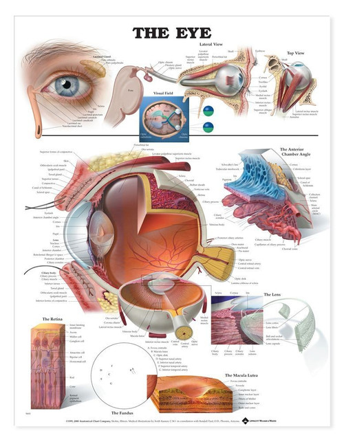 Anatomy Posters and Charts-Ears, Eyes, Nose, Throat