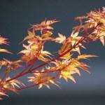 Coral Bark Japanese Maple Trees Buy At Kigi Nursery