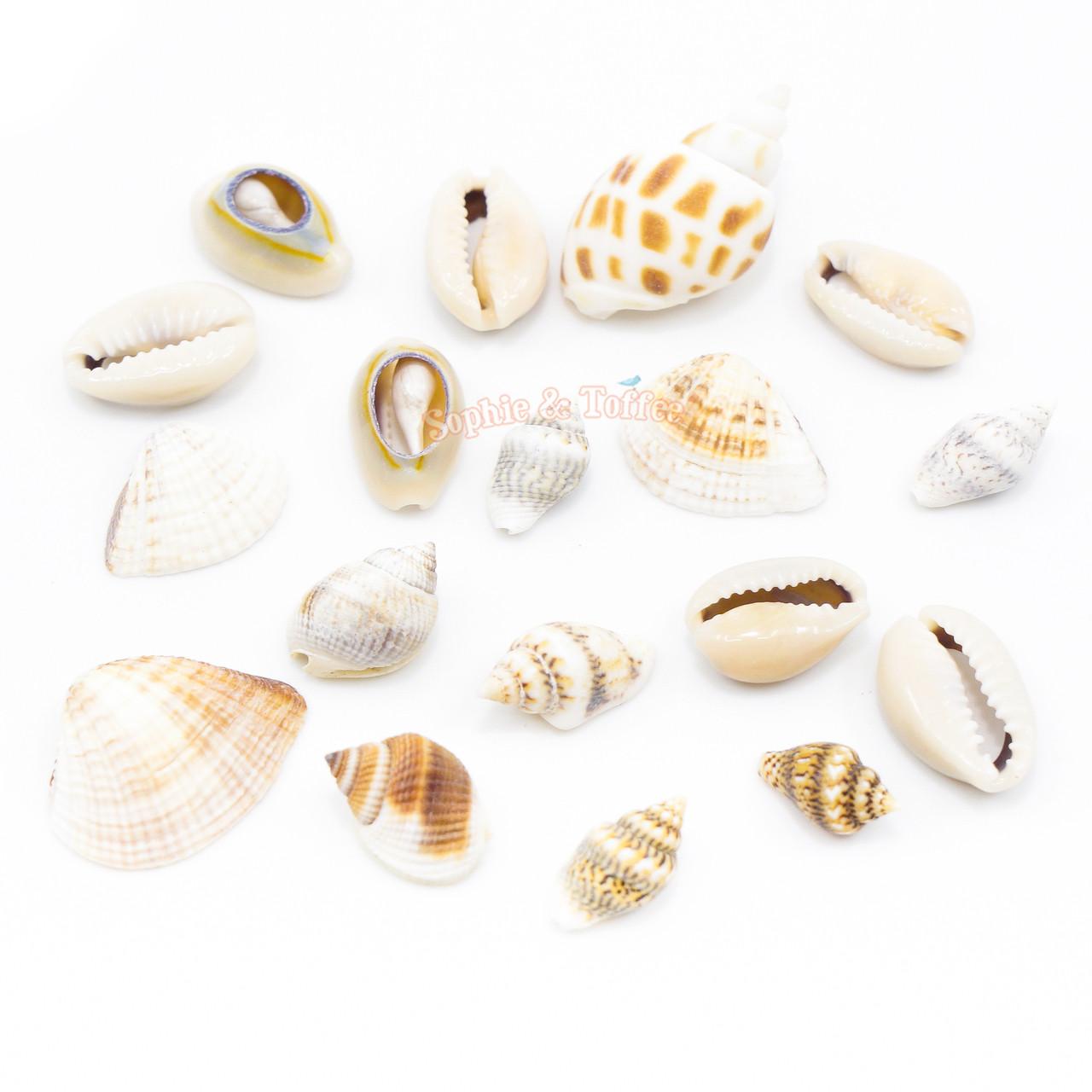 natural ocean seashells embellishments
