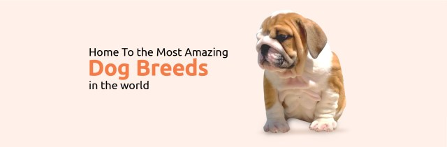 best english bulldogs breeders, bulldog breeders for sale in