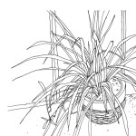 The Printed Home Spider Plant Drawing Hand Drawn Art Print From Featured Artist David H Cobley