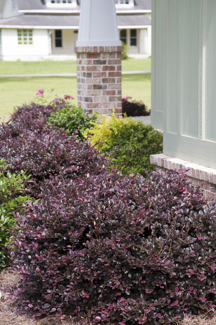 purple diamond loropetalum