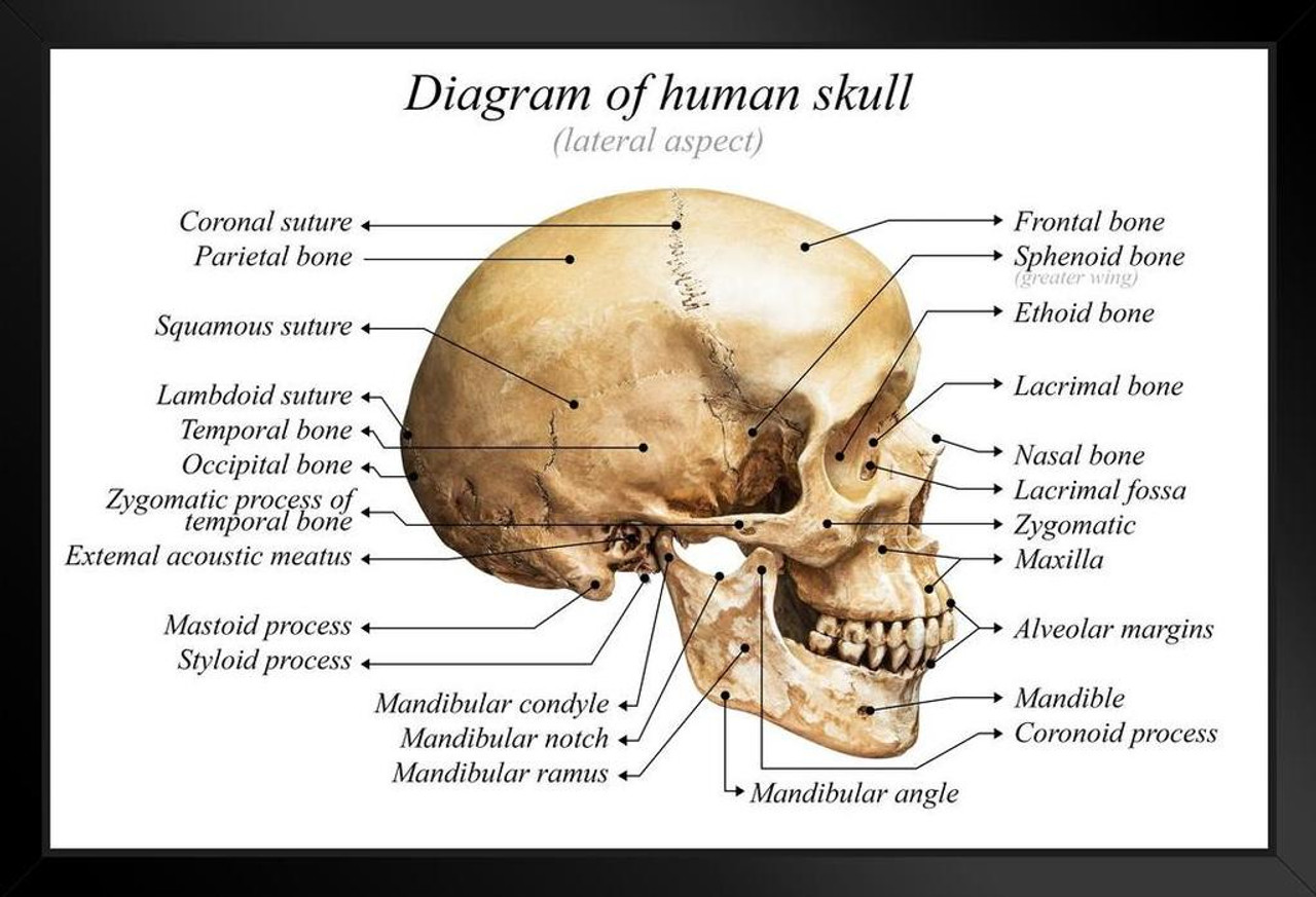 human skull diagram anatomy educational chart framed poster 20x14 human skull diagram without labels human skull diagram [ 1280 x 873 Pixel ]