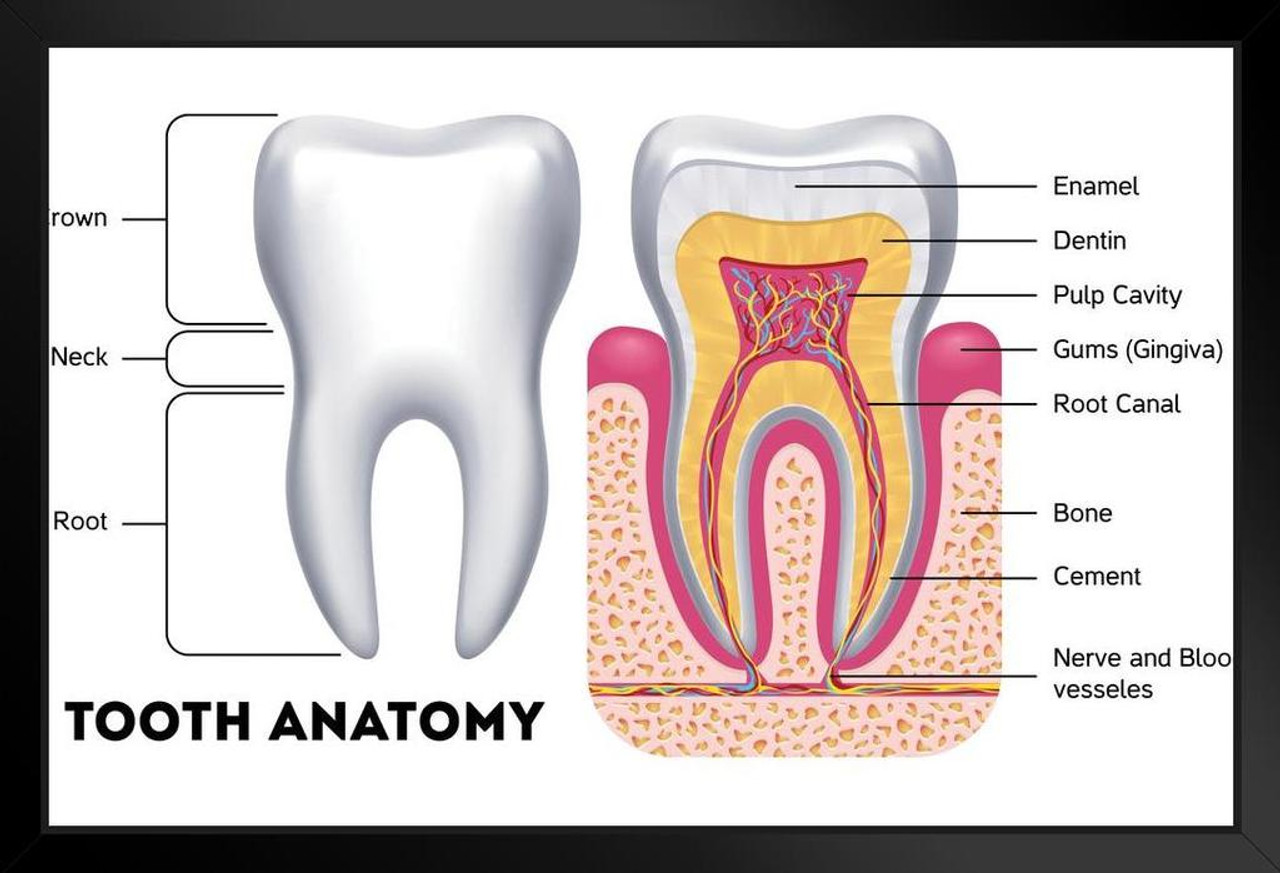 hight resolution of human tooth anatomy cross section dental diagram 20x14 inch