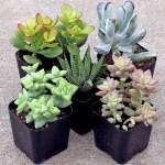 Indoor Succulent Set Of 5 Mountain Crest Gardens