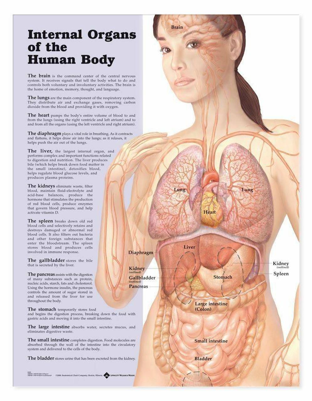 Body Parts Chart Woman : parts, chart, woman, Internal, Organs, Human, Anatomical, Chart, AnatomyWarehouse.com