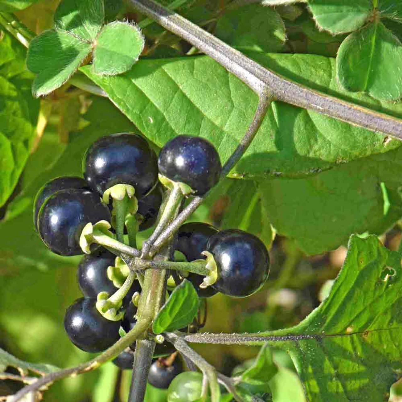 Garden Huckleberry Heirloom Seeds Terroir Seeds