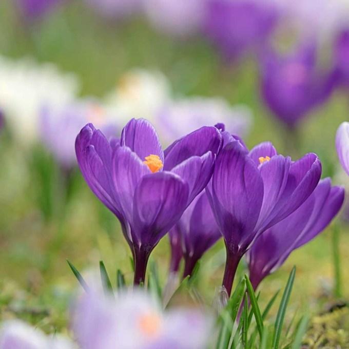 Saffron Crocus Bulbs - (Crocus sativus) | Terroir Seeds