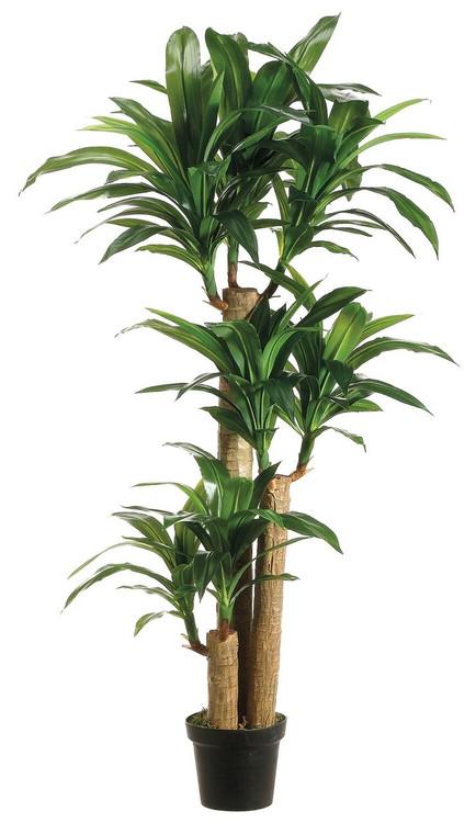 5ft Tropical Dracaena Tree X3 In Plastic Pot