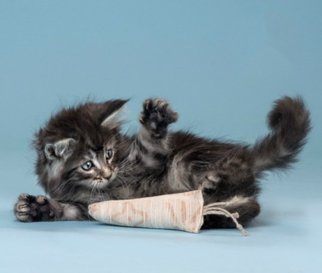 A Fluffy Kitten Pounces On Our Organic Cotton Filled Cat Toy Made With Love In