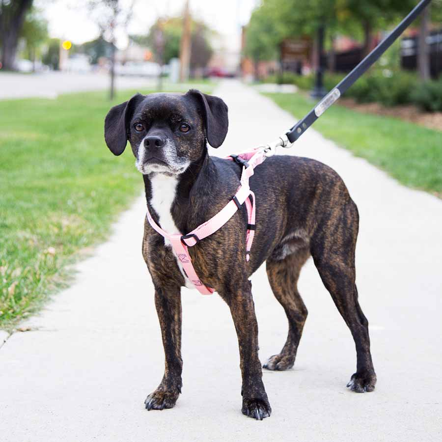 medium resolution of  personalized buckle step in dog harness