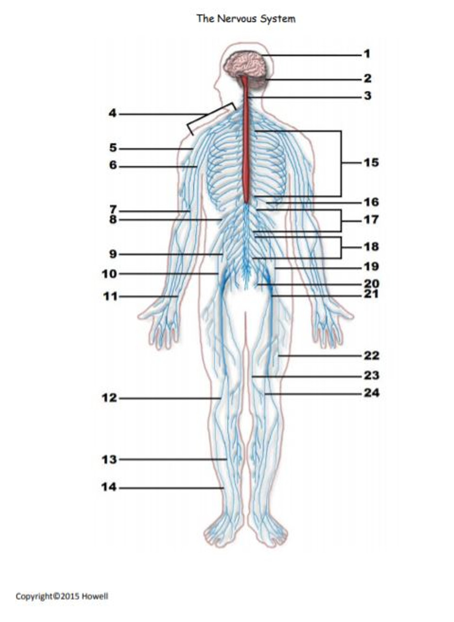 The Nervous System Identification Quiz or Worksheet for Anatomy - Amped Up  Learning [ 1280 x 935 Pixel ]
