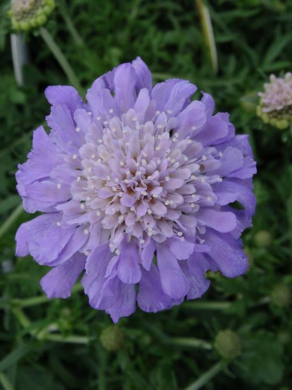 Butterfly Blue Pincushion Flower Plant Library Pahl39s