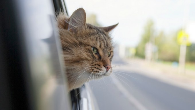 Head Cat out of a car window in motion. summer