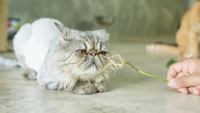 Gray striped Persian cat and a root of Indian acalypha.