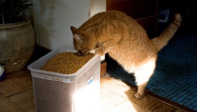 Orange cat eating out of big bucket of cat food.