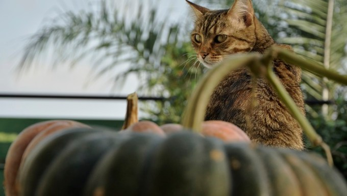 Cat with the pumpkins