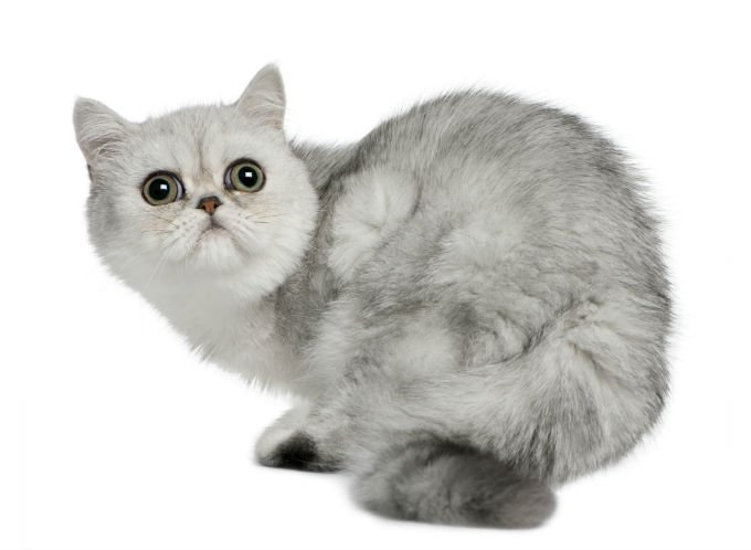 Cute Siamese Kittens Wallpaper Exotic Cat Breed Information Pictures Characteristics