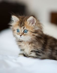 Persian cats and kittens also cat breed information pictures characteristics  facts rh cattime